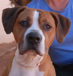 Eddie Red, a fun-loving youngster with unique good looks, debuts for adoption today at Nevada SPCA (www.nevadaspca.org).  He is a blend of Boxer, Bully & Hound breeds, 2 years of age and neutered.  Eddie Red seems to be compatible with other friendly dogs too.  He would relish being your devoted companion for years of sporting activities, whether hiking at Red Rock or boating in Lake Mead or taking walks around the block.  Eddie Red was at another shelter that asked for our help.