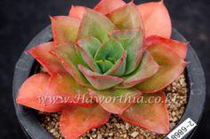 Succulent Echeveria SEITENBOTAN Japan Rare  cactus agave caudex 2-6868 #FarmingAgriculturalAssociationCorpJIYANG