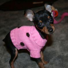 Miniature Doberman Pinscher - my most favourite breed of dog Mini Pinscher, Miniature Pinscher, Doberman Pinscher, Chihuahua Puppies, Cute Puppies, Cute Dogs, Chihuahuas, Small Family Dogs, Miniature Doberman