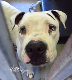 Needs a family has a hard time walking - A4857425 my name is Chloe. I am a very friendly 1 yr old female white/black pit bull mix. I came to the shelter as a stray on July 20. available 7/24/15