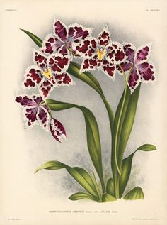 Linden Orchid Prints Lindenia 1885, botanical illustration.