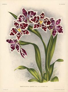 Linden Orchid Prints Lindenia 1885, botanical illustration.