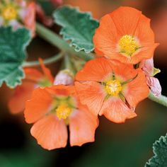 Apricot mallow -- CA Native flower, grows 3-4' tall.
