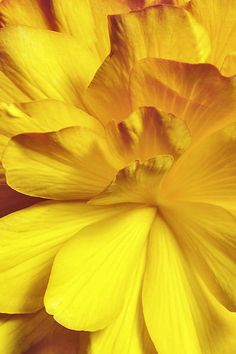 Yellow | Giallo | Jaune | Amarillo | Gul | Geel | Amarelo | イエロー | Colour | Texture | Style | Form | Macro_flowers_8 (3) | by Quinto Sol Photography
