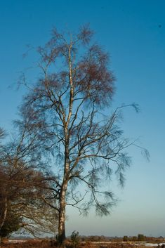 A Silver Birch on the New Forest by M.H.Shearing