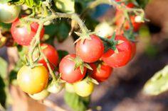 combate-ao-fundo-preto-do-tomate-portal-agropecuario