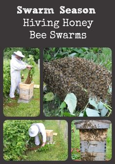 Swarm Season - Learn how easy it is to hive honey bee swarms via Better Hens and Gardens