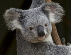 Koalas keep their coat clean by using a grooming claw rather than licking their coat. #koala #animals