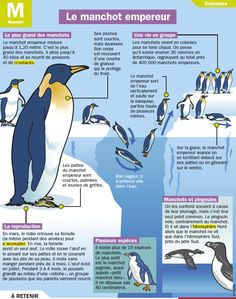 Fiche exposés : Le manchot empereur Primary Science, Science Biology, Winter Activities For Kids, Math For Kids, Wild Animals Photos, French Education, Learn French, Winter Theme, French Language