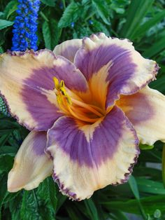 H. 'Mexican Magic'.  Get it together, Girl! | And a bonus Haiku... | a girl and her garden - a daylily blog