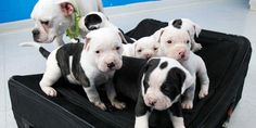 These puppies were rescued. They were found in the suitcase they are standing on.