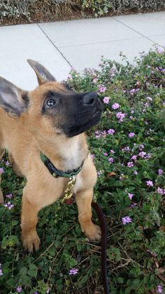 Our new boy malinois ! Baby Animals Super Cute, Cute Animals, Dutch Shepherd Dog, Belgian Malinois Puppies, Belgium Malinois, Scary Dogs, Cute Dogs And Puppies, Doggies, Cute Animal Pictures