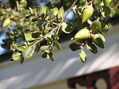Quercus agrifolia - Coast Live Oak