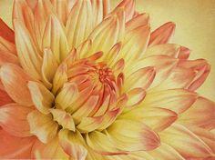 Colored pencil dahlia by Sheri Ruben