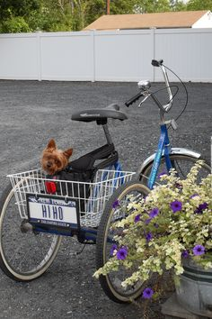 Warm weather transport to the shop for this working Yorkie.