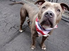 TO BE DESTROYED 05/06/15-Manhattan Center TAKODA – A1034048 MALE, BLUE / WHITE, AMERICAN STAFF / AM PIT BULL TER, 2 yrs STRAY – STRAY WAIT, NO HOLD Reason STRAY Intake condition EXAM REQ Intake Date 04/22/2015