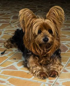 Follow us for more lovely, adorable Yorkie videos and pictures#yorkie #yorkshireterrier #yorkies #yorkielove #yorkiepoo #yorkielife #yorkiepuppy #yorkieoftheday #yorkielovers #yorkienation #yorkshireterriers #yorkietown #yorkielover #yorkiemix #yorkiemom #yorkieswag #yorkieboy #yorkiegirl #yorkieterrier #yorkiebaby