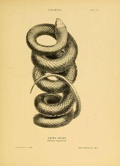 n142_w1150 | Flickr - Photo Sharing! Snake Drawing, Natural History, Australia, Snakes, Tattoo Ideas, Tattoos, Tatuajes, Tattoo, A Snake
