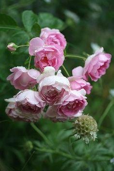 Large-flowered Climbing Rose: Rosa 'Jasmina' (Germany, 1996)