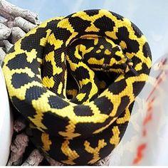A glowing Jungle Carpet Python from @darrenreptilesonly #reptilesofinstagram #snakes #snakesofinstagram