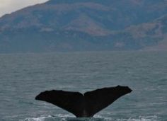 Winter means its whale-watching season as whales migrate south to warm, shallow waters.