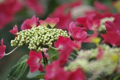 A close up of Hydrangea Hydrangea Garden, Hydrangeas, Juni, Herbs, Plants, Beautiful, Limelight Hydrangea, Hydrangea Macrophylla, Herb