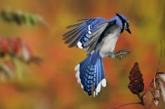 Blue Jay (Cyanocitta cristata) landing on a Staghorn Sumac (Rhus typhina), Maple Grove, Quebec, Canada    SCOTT LINSTEAD/ FN/ MINDEN PICTURES/National Geographic Stock