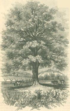 walnut tree drawing, inspiration for an ink project Wayne's+Black+Walnut.jpg (964×1516)