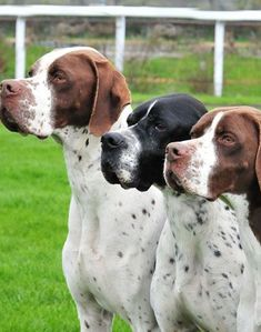 English Pointer - Three of a kind. Pointer Puppies, Dogs And Puppies, I Love Dogs, Cute Dogs, English Pointer Dog, Dog Id, Hunting Dogs, Grouse Hunting, Animals