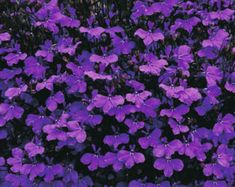 Lobelia erinus 'Crystal Palace' seeds from Thompson & Morgan - experts in the garden since 1855 Amazing Gardens, Beautiful Gardens, Beautiful Flowers, Crystal Palace, Lobelia Flowers, Rock Border, Dark Blue Flowers, Cold Frame, How To Attract Hummingbirds