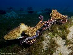 Mating Octopuses by Dany Weinberg