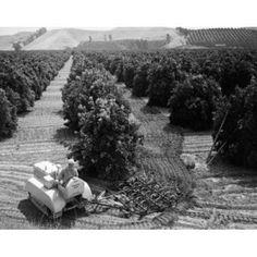 High angle view of a farmer working in an orange grove San Juan Capistrano California USA Canvas Art - (24 x 36)