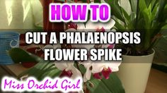 **Orchid plantlet - called keiki** How to cut a Phalaenopsis Orchid flower spike.