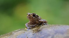 Common Toad by wildlifelynn