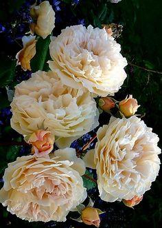'Crown Princess Margareta' |  Shrub.  English Rose Collection.  Bred by David C. H. Austin (United Kingdom, 1990). #englishgardenshrubs