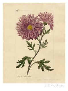 Chrysanthemum indicum Giclee Print by John Curtis - AllPosters.co.uk