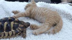"gifsboom: "" Video: Tortoise Tries to Eat Kitten's Toes """