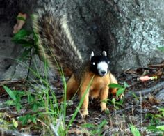 Southern Meadows: A Masked Face Fox Squirrel, sometimes called the Raccoon Face squirrel.