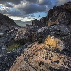 """""""photo by @drewtrush / The Pika. Native to alpine ecosystems, and under threat of rising temperatures pushing them higher on the mountain slopes they call home. #greateryellowstoneecosystem #pika @natgeocreative @thephotosociety"""" Photo )"""