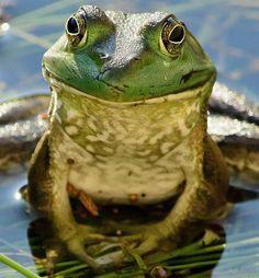 One Big Frog