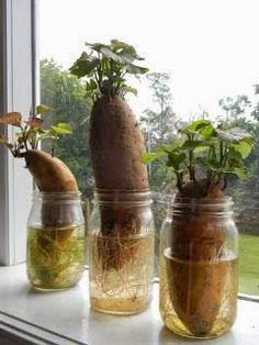 How To Grow Sweet Potato Plants....