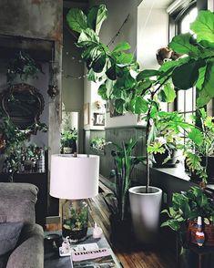 "Houseplant Club (@houseplantclub) on Instagram: ""#fiddleleaffig goals  : @hiltoncarter #houseplantclub all-star """
