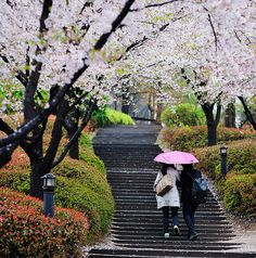 Korea University, South Korea - Couple walking under cherry blossom tunnel in a rainy day by BiMim on Flickr.