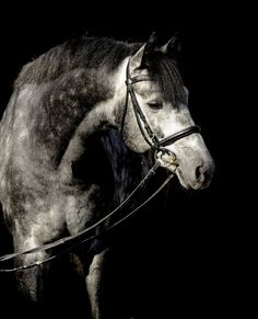 Bartlgut's Lubinus  born 22.04.2005              Holsteiner WB stallion              Color: Grey