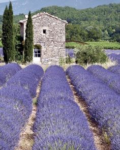 Provence and Lavender. I L💜VE these BEAUTIFUL lavender fields. Lavender Fields France, Provence Lavender, Lavender Garden, Provence Style, Provence France, French Lavender Fields, Lavender Tea, French Country Style, French Country Decorating