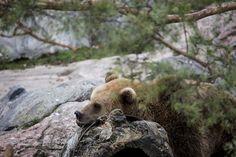 Brown bear ready for hibernation Picture by: Mari Lehmonen (2014) Helsinki Zoo archives - Katso kuva Flickrissä: http://www.flickr.com/photos/61934286@N04/15368389598
