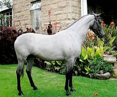 SA Boerperd stallion. This stud farm, which has some of the best photos of the breed, appears not to divulge the names of the horses.