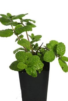 Botanical Name: Mentha X piperita f. Chocolate Mint is a medium growing mint reaching up to tall, with a spreading nature up to Chocolate Mint Plant, Organic Chocolate, Growing Mint, Fast Growing Plants, Making Herbal Tea, Mint Slice, Mint Herb, Mint Plants, Mint Ice Cream