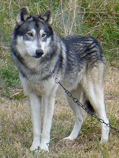 Wolamute (malamute X wolf hybrid)
