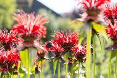Goldmelisse (Monarda dydima) in einem Naturgarten / Crimson beebalm (Monarda dydima) in a natural garden